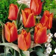 Тюльпаны Фри Уорлд