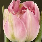Тюльпаны Свен Далман