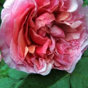Розы Ладури