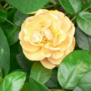 Розы Голденер Олимп