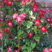 Розы Дортмунд