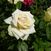 Розы Жаде