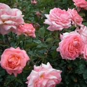 Розы Пол Ширвилл