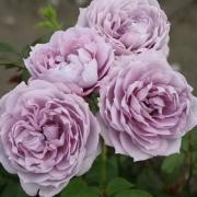 Розы Новалис