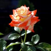 Розы Бетти Буп