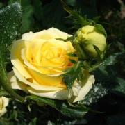 Розы Кронос