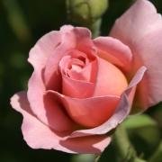 Розы Белле Стори