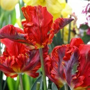 Тюльпаны Рококо Дабл