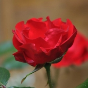 Розы Паркдиректор Риггерс