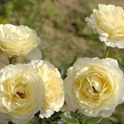 Розы Айриш Хоуп