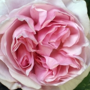 Розы Ст Свитхан