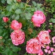 Розы Бернсторфф