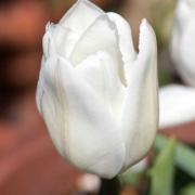 Тюльпаны Уайт Марвел