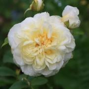 Розы Олимпийская романтика