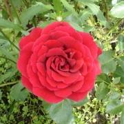Розы Полс Скарлет