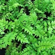 Циртомиум Циртомиум. Сорта и виды Циртомиума. Выращивание Циртомиума.