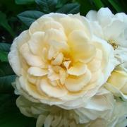 Розы Лионс Роуз