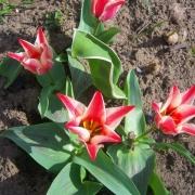 Тюльпаны Пиноккио
