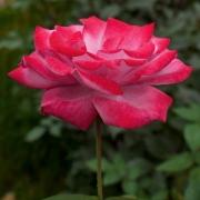 Розы Парадайз