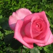 Розы Леди Лайк