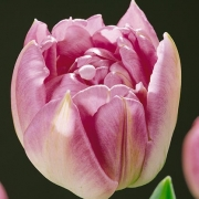 Тюльпаны Гермионе