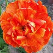 Тюльпаны Гудошник Дабл