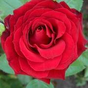 Розы Оклахома