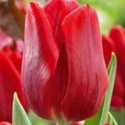 Тюльпаны Мэрри Кристмас
