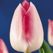 Тюльпаны Лукас ван Лэйден