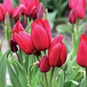 Тюльпаны Файери Клаб