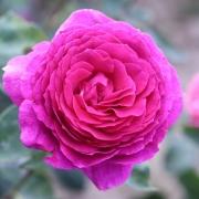 Розы Биг Перпл