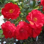 Розы Центро-Роуз