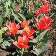 Тюльпаны Торонто