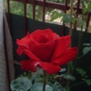 Розы Виктор Гюго