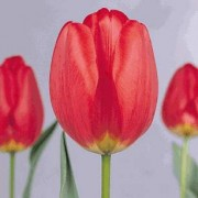 Тюльпаны Мьюзикал
