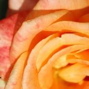 Розы Флора Даника