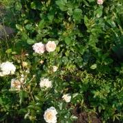 Розы Крим Абундэнс