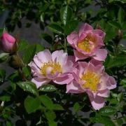 Розы Нозоми