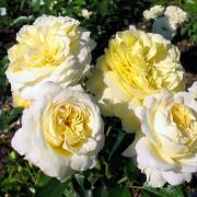 Розы Патрициа Кент