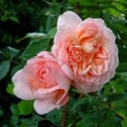 Розы Сониа Рикиел