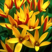 Тюльпаны Клузиана Синтия