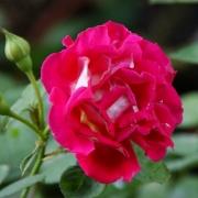 Розы Рейне Саммут
