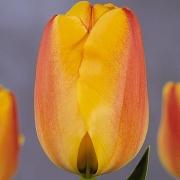 Тюльпаны Роял Ад Рем