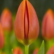 Тюльпаны Оранж Элит