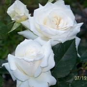 Розы Атена