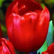 Тюльпаны Ред Булл