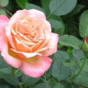 Розы Джессика