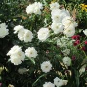 Розы Шнеевитхен