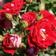 Розы Мэйди