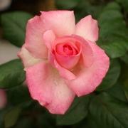 Розы Ма Норманди